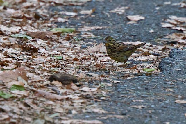 瀬上市民の森 道路で採食していたアオジ _DSC3422.jpg
