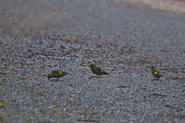 瀬上市民の森 道路で採食するカワラヒワ3羽1 _DSC8565.jpg