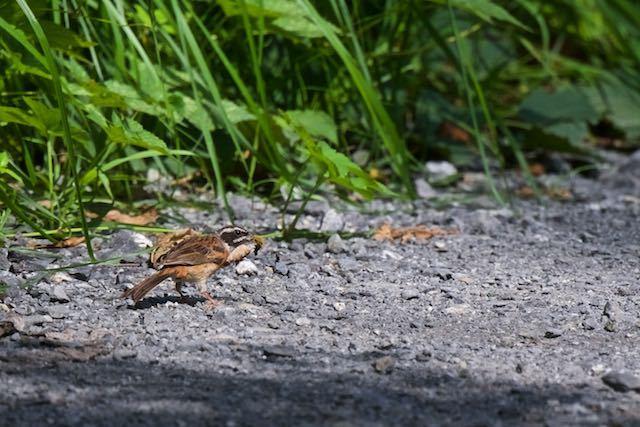 瀬上市民の森 道路で蛾の幼虫を食べるホオジロ♂ _DSC7767.jpg
