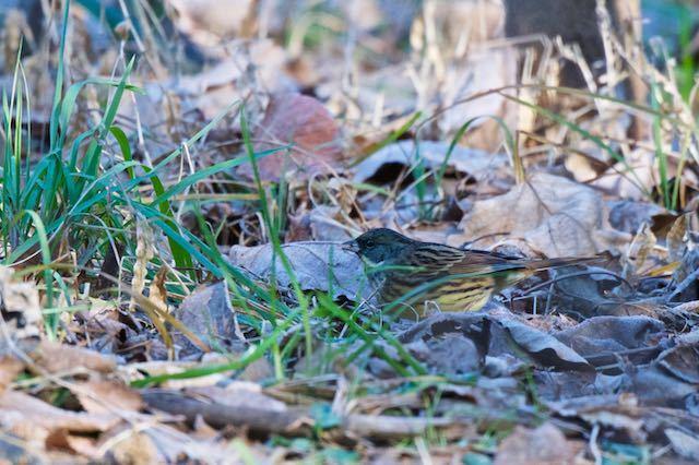 瀬上市民の森 雑草の種子を採食するアオジ♂ _DSC0505.jpg