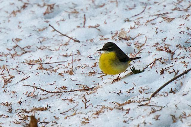瀬上市民の森 雪の上で食べ物を探すキセキレイ _DSC9835.jpg