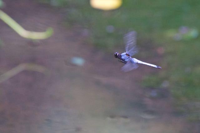 瀬上市民の森 飛ぶシオカラトンボ♂ _DSC0906.jpg