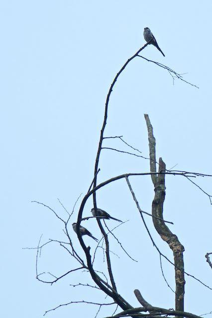 瀬上市民の森 高い枯れ木にとまるエナガ _DSC0266.jpg