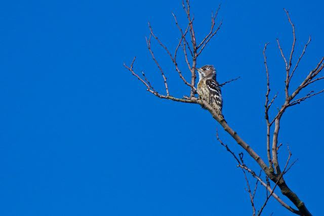 瀬上市民の森 鳩小屋近くの枯れ木に飛んで来たコゲラ _DSC2884.jpg