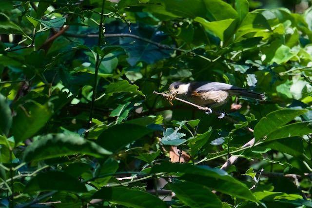 瀬上市民の森1 バッタを食べるヤマガラ幼鳥 _DSC6613.jpg