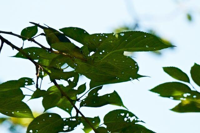 瀬上市民の森1 桜で採食していたメジロ _DSC6584.jpg