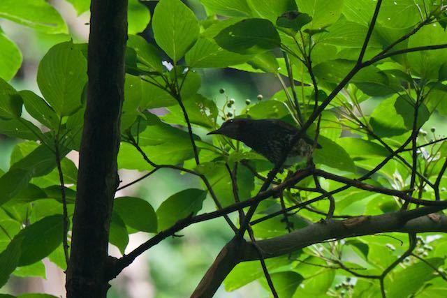 瀬上市民の森2 尾羽が抜け落ちていたヒヨドリ _DSC6694.jpg