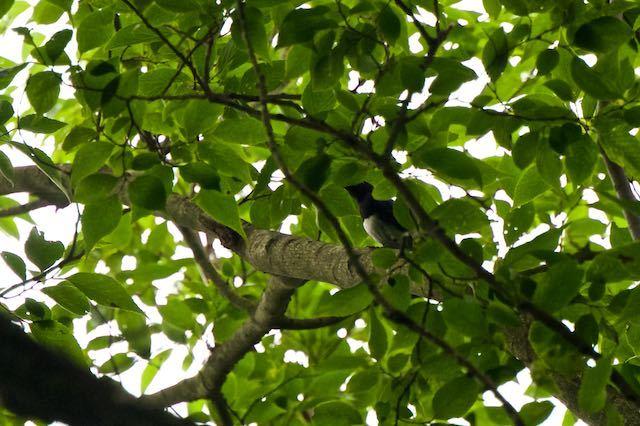 瀬上市民の森2 葉に隠れ良く見えなかったオオルリ♂ _DSC6687.jpg