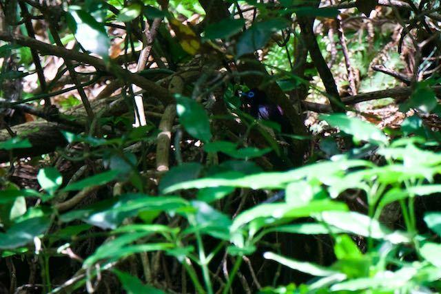 獅子舞谷 水浴び後、薮に飛んで行ったサンコウチョウ♂ _DSC7918.jpg