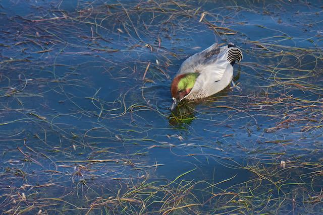 皇居 水草を採食するヨシガモ1 _DSC8039.jpg