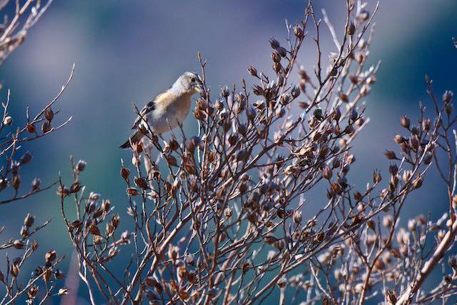 箱根 ヒメシャラを採食するアトリ♀(芦ノ湖キャンプ村)_DSC7400.jpg