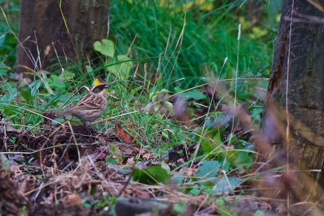 箱根 地上で採食していたミヤマホオジロ♂2 _DSC8163.jpg