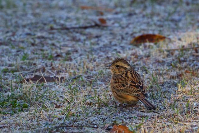 箱根 霜の降りた地面で雑草の種子を食べるホオジロ♀ _DSC0625.jpg