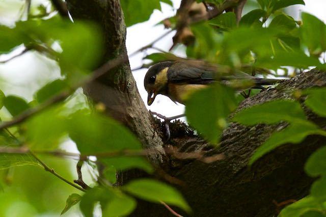 箱根ビジターセンター周辺 クモを食べるヤマガラ幼鳥 _DSC8539.jpg