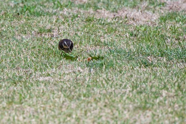 箱根ビジターセンター周辺 地面で幼虫を採食するツグミ _DSC1478.jpg