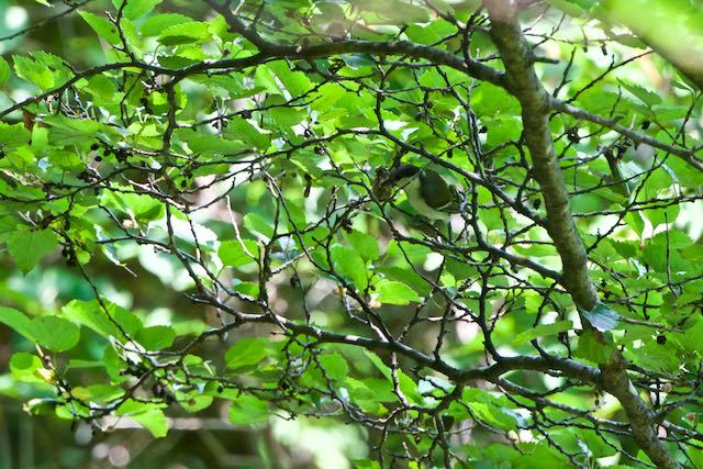 箱根ビジターセンター周辺 採食中のシジュウカラ幼鳥 _DSC0493.jpg