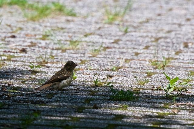 箱根ビジターセンター周辺 日陰の遊歩道に飛んできたキビタキ幼鳥 _DSC6471.jpg
