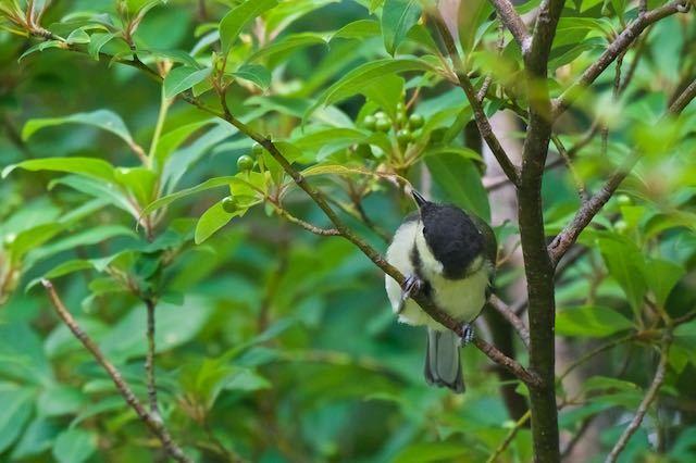 箱根ビジターセンター周辺 葉の上の小さな虫を食べるシジュウカラ幼鳥2 _DSC5676.jpg