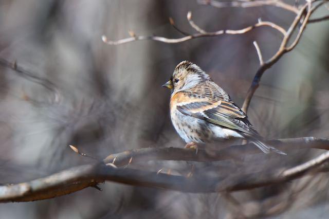 箱根ビジターセンター周辺 野鳥の森で出会ったアトリ♀ _DSC8097.jpg