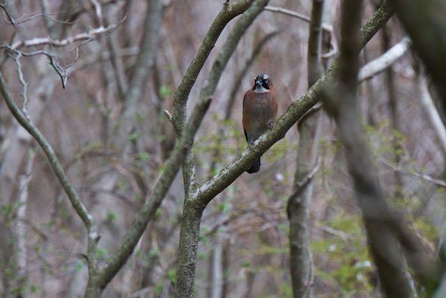 箱根ビジターセンター周辺 野鳥の森で出会ったカケス _DSC1517.jpg