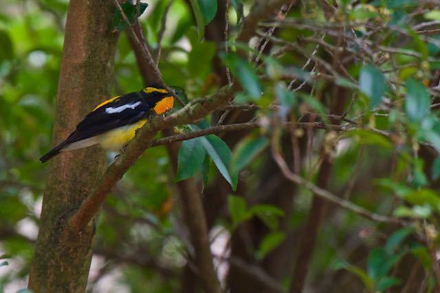 箱根ビジターセンター周辺 野鳥の森で出会ったキビタキ♂2 _DSC1501.jpg