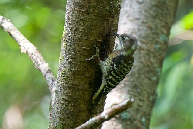 箱根ビジターセンター周辺 野鳥の森で出会ったコゲラ _DSC4965.jpg