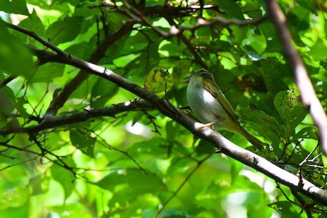 箱根ビジターセンター周辺 野鳥の森で出会ったムシクイ類 _DSC3205.jpg