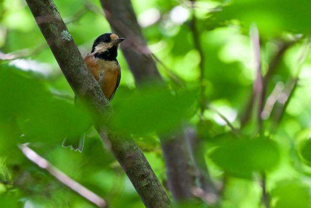 箱根ビジターセンター周辺 野鳥の森で出会ったヤマガラ _DSC3210.jpg