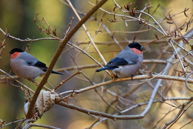 箱根ビジターセンター周辺 野鳥の森に行く途中で出会ったウソ♂1 _DSC7734.jpg
