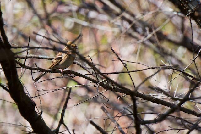 箱根野鳥の森 ミヤマホオジロ♀ _DSC5991.jpg