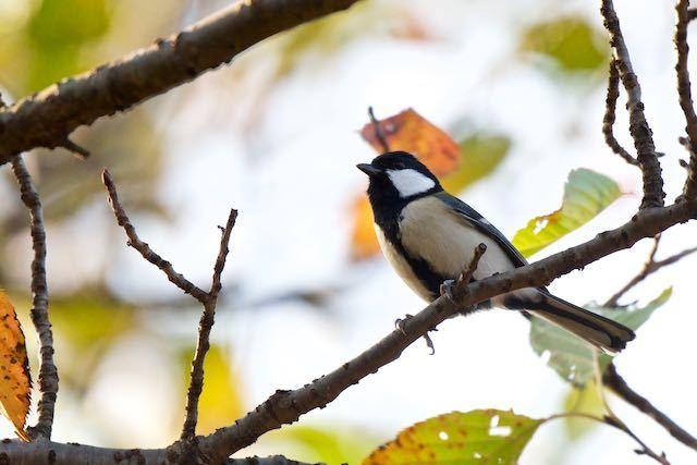 舞岡公園 おおなばの丘で出会ったシジュウカラ _DSC9548.jpg