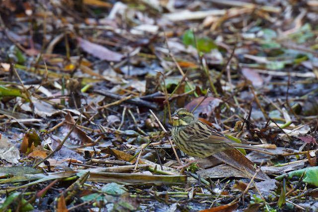 舞岡公園 かっぱ池で採食するアオジ _DSC8606.jpg
