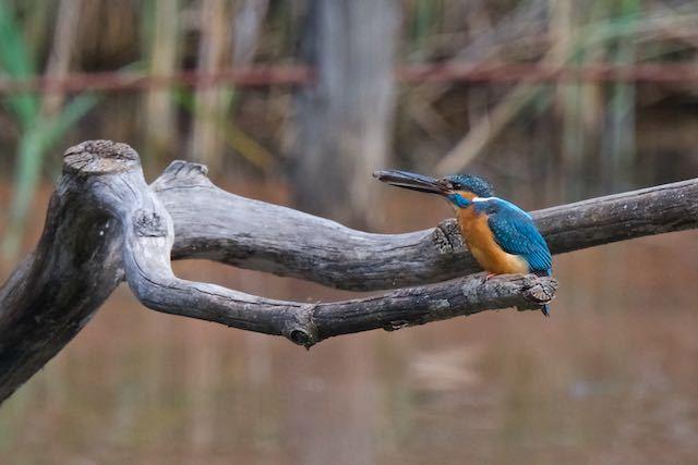 舞岡公園 さくらなみ池で小魚を捕まえたカワセミ♂ _DSC4475.jpg