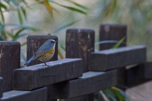 舞岡公園 やっと出会ったルリビタキ♂ _DSC9346.jpg