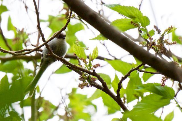 舞岡公園 エナガ幼鳥 _DSC3228.jpg