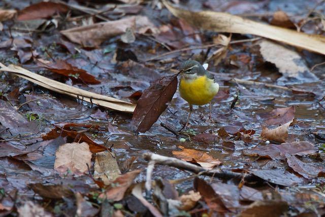舞岡公園 カッパ池で採食していたキセキレイ _DSC4865.jpg