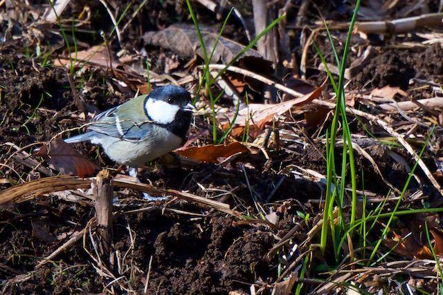 舞岡公園 カッパ池で採食するシジュウカラ _DSC5541.jpg