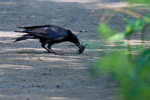 舞岡公園 カブトムシを捕まえたハシボソガラス _DSC8767.jpg