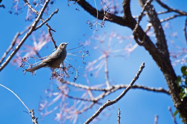 舞岡公園 カラスザンショウを食べるヒヨドリ _DSC0803.jpg