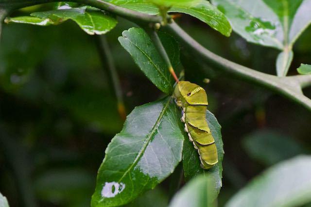 舞岡公園 カラタチで見られたアゲハ幼虫 _DSC1535.jpg