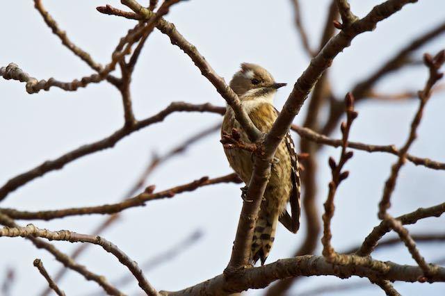 舞岡公園 カラ類と一緒に見られたコゲラ _DSC5006.jpg
