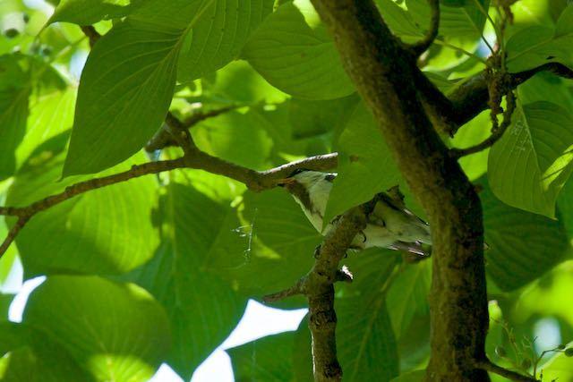 舞岡公園 シジュウカラ幼鳥 _DSC7225.jpg