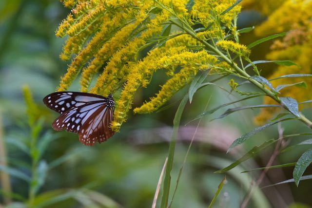 舞岡公園 セイタカアワダチソウの花蜜を吸うアサギマダラ _DSC4217.jpg
