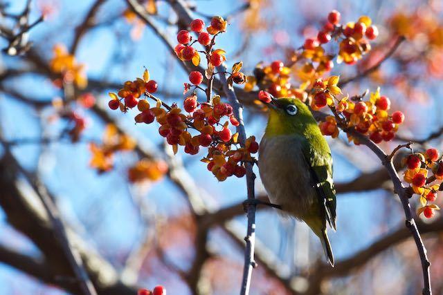 舞岡公園 ツルウメモドキを食べるメジロ _DSC6283.jpg