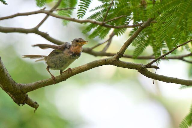 舞岡公園 ネムノキで囀るウグイス幼鳥 _DSC8841.jpg