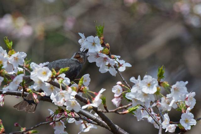 舞岡公園 ヒヨドリ _DSC7192.jpg