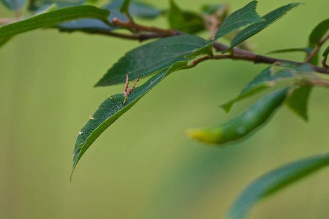 舞岡公園 ミズキ休憩所のエノキの幼木にいたアカボシゴマダラ幼虫 _DSC8856.jpg