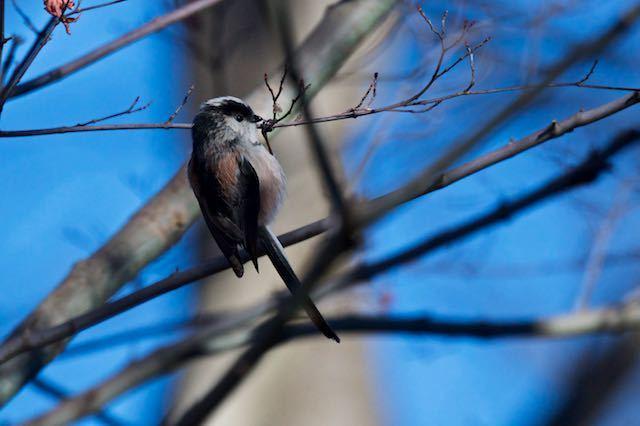 舞岡公園 モミジの細い枝にぶら下がるエナガ2 _DSC2171.jpg