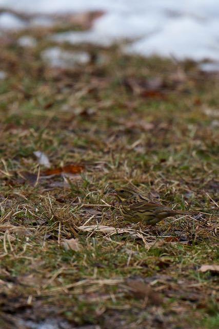 舞岡公園 地面で採食するアオジ1 _DSC0852.jpg