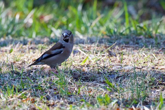 舞岡公園 地面で採食するシメ _DSC3978.jpg
